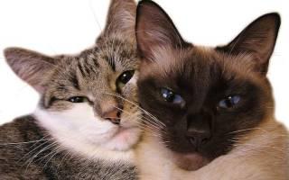 Течка у кошек: сколько длится и как часто бывает, когда начинается, как помочь питомцу, с какими трудностями можно столкнуться