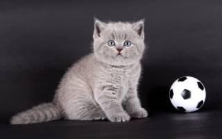 390 имен для шотландских кошек и котов (по полу, окрасу, оригинально)