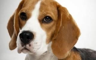 Бигль — фото, описание породы собак, характер