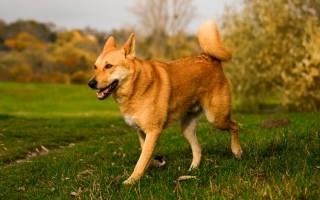 Ханаанская собака: описание породы, как ухаживать и воспитывать, выбор щенка, полезные фото и отзывы владельцев