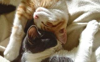 Вязка кошек и котов [Случка]: Советы от заводчиков, как проходит