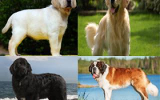 Самые добрые породы собак в мире — топ-10 с фото и названиями