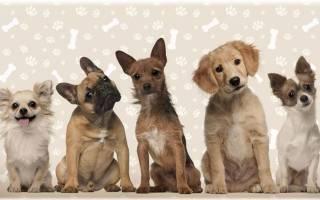 Декоративные породы собак — фотографии, названия, описание комнатных собачек