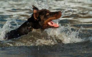 Как помочь собаке в жару — как ведут себя питомцы, можно ли их купать, как охладить