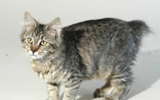 Кошка породы пиксибоб: описание внешности и характера, уход за питомцем и его содержание, выбор котёнка, отзывы владельцев, фото кота