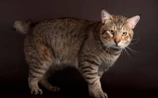 Породы кошек без хвоста [фото + список пород]
