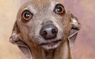 Левретка — фото, описание породы, особенности собаки