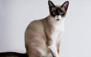Сноу-шу: фото кошки, цена, описание породы, характер, видео, питомники