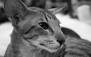 Ориентальная кошка: особенности длинношёрстной породы ориентал, фото и описание кота, выбор котёнка и отзывы владельцев