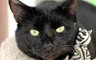 Бомбейская кошка: особенности породы, фото кота и отзывы владельцев