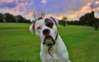Американский бульдог (амбуль) — фото, описание породы, характер собаки