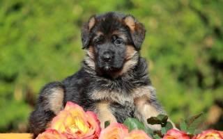 Клички для немецких овчарок — имена для собак мальчиков и девочек