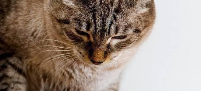 Лакомства для кошек: как выбрать, отзывы, сделать своими руками