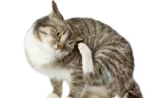Блошиный дерматит у кошек: симптомы, лечение, профилактика