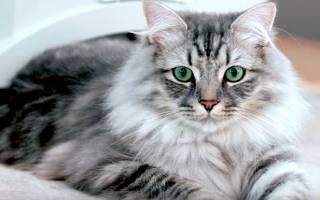 Невская маскарадная кошка: описание и фото породы, характер и окрас кота, достоинства и недостатки питомца, отзывы владельцев, выбор котёнка