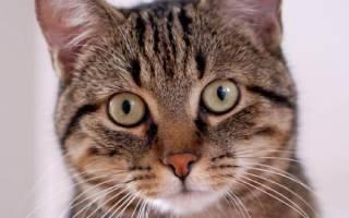 Европейская короткошерстная кошка (кельтская): фото, цена, описание породы, характер, видео
