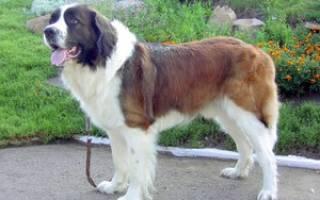 Московская сторожевая собака — фото, характеристика породы, правила ухода и содержания