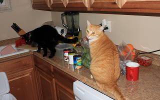Как отучить кошку или кота лазить по столам, советы и практические рекомендации