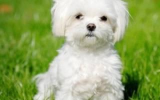 Мальтийская болонка (мальтезе) — фото, описание породы собак, особенности