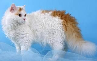 Селкирк рекс: описание внешности и характера, уход за питомцем и его содержание, выбор котёнка, отзывы владельцев, фото кота