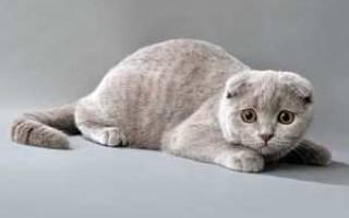 Шотландская вислоухая кошка (Скоттиш-фолд): характер, сколько стоит содержание [фото, видео, цена]