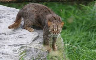 Ржавая кошка: описание внешности и характера, образ жизни и ареал обитания, размножение и численность вида