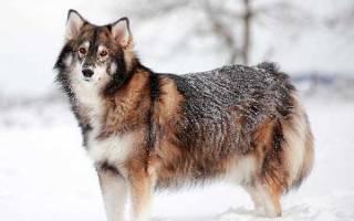 Утонаган — описание и история породы собак, фото, цена
