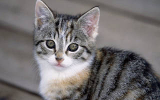 Пироплазмоз у кошек: симптомы, лечение и профилактика