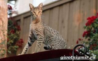 Кошка саванна — гибрид сервала: особенности породы, фото котёнка и взрослого кота, уход за питомцем и его содержание