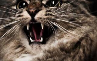 Почему котенок постоянно мяукает, а кошка орёт: причины, что делать