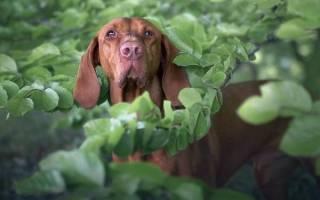 Каталбурун (турецкая гончая) — фото, описание породы собак, особенности характера