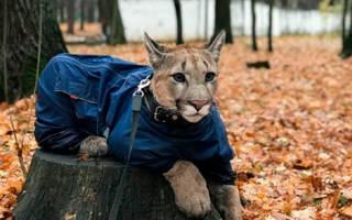 Кошка пума: описание породы, особенности ухода, фото