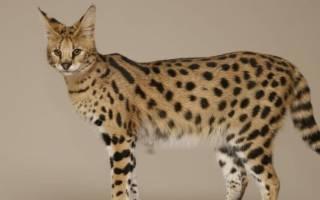 Саванна: фото кошки, цена, описание породы, характер, видео, питомники