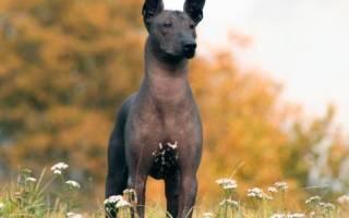 Ксолоитцкуинтли (мексиканская голая собака) — фото, описание, особенности лысой породы
