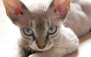Ласковые кошки: обзор пород и особенности ухода
