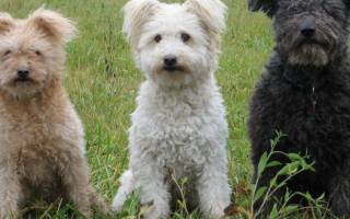 Пуми — что это за порода собак, стандарты и особенности содержания и ухода, выбор щенков и цены, полезные фото и отзывы