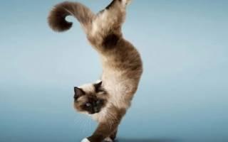 Как дрессировать кота или кошку, дрессировка котёнка