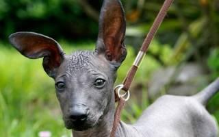 Голая перуанская собака: описание и стандарт «орхидеи инков», уход и содержание породы, нюансы воспитания и дрессуры, цены на щенков и фото