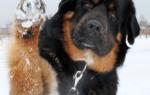 Бурят-монгольский волкодав (хотошо) — фото, описание породы собак, особенности