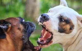 Бойцовские породы собак — список с фото и названиями бойцовых псов