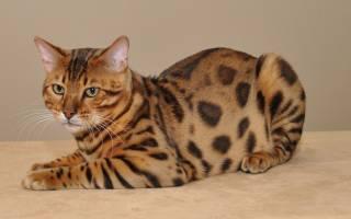 Пятнистые породы кошек [фото + список пород]