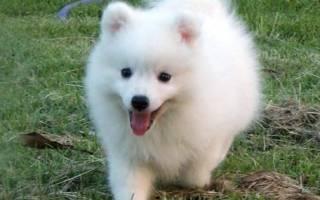Кисю: описание и стандарт японской собаки, характер, условия содержания, история, фото