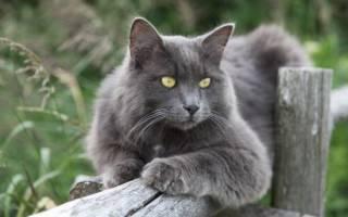 Нибелунг кошка: фото, цена, описание породы, характер, видео, питомники