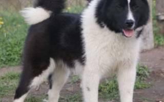 Русско-европейская лайка — фото, описание породы собак, особенности характера