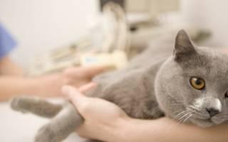 Рак молочной железы у кошки: почему появляется опухоль, как отличить её от мастопатии, лечение