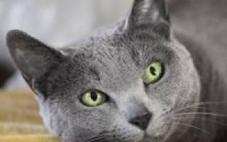 Русская голубая кошка: описание внешности и характера породы, уход за питомцем и его содержание, выбор котёнка, отзывы владельцев, фото кота