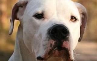 Аргентинский дог — фото, описание породы собак, особенности характера