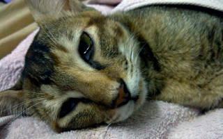 Чумка у кошек: чем опасна, симптомы, лечение и профилактика