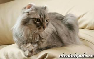 Кошка американский кёрл: особенности и фото породы, уход и содержание питомца