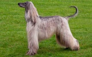 Афганская борзая — фото, описание породы, особенности этих собаки
